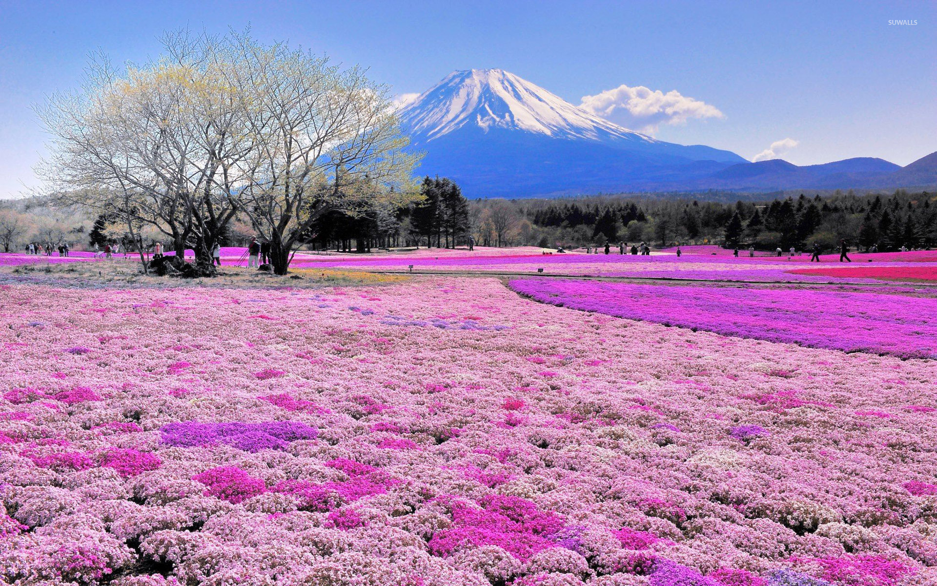 Pink flower field and Mount Fuji wallpaper   Nature 1920x1200