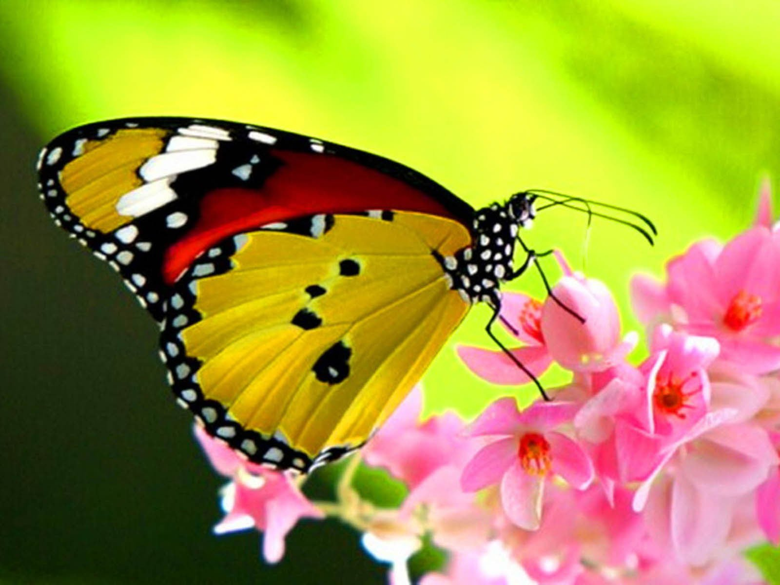 Beautiful Butterfly Wallpaper Desktop Wallpapers 1600x1200