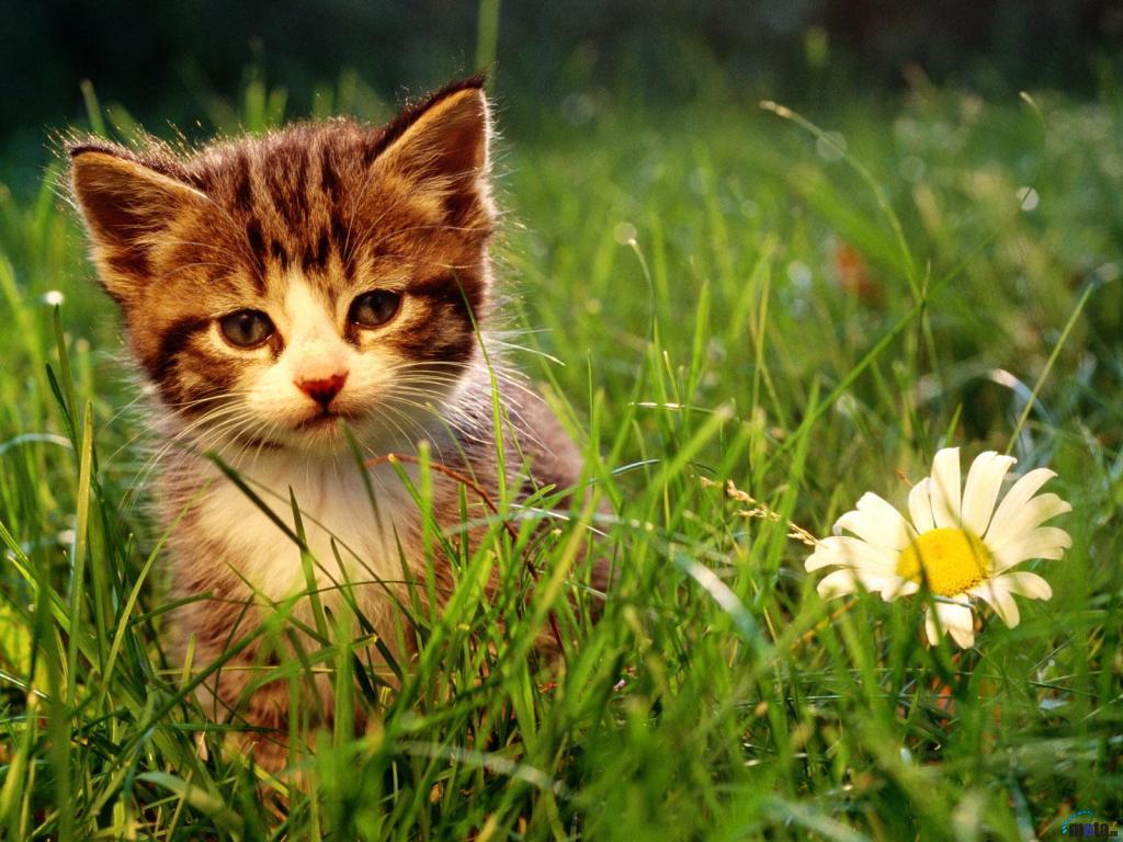 Screensavers Background Kitten Desktop Wallpapers For Desktop 1024x768