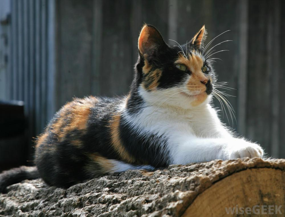 Calico Cats Outside What is a calico cat with pictures 1000x764