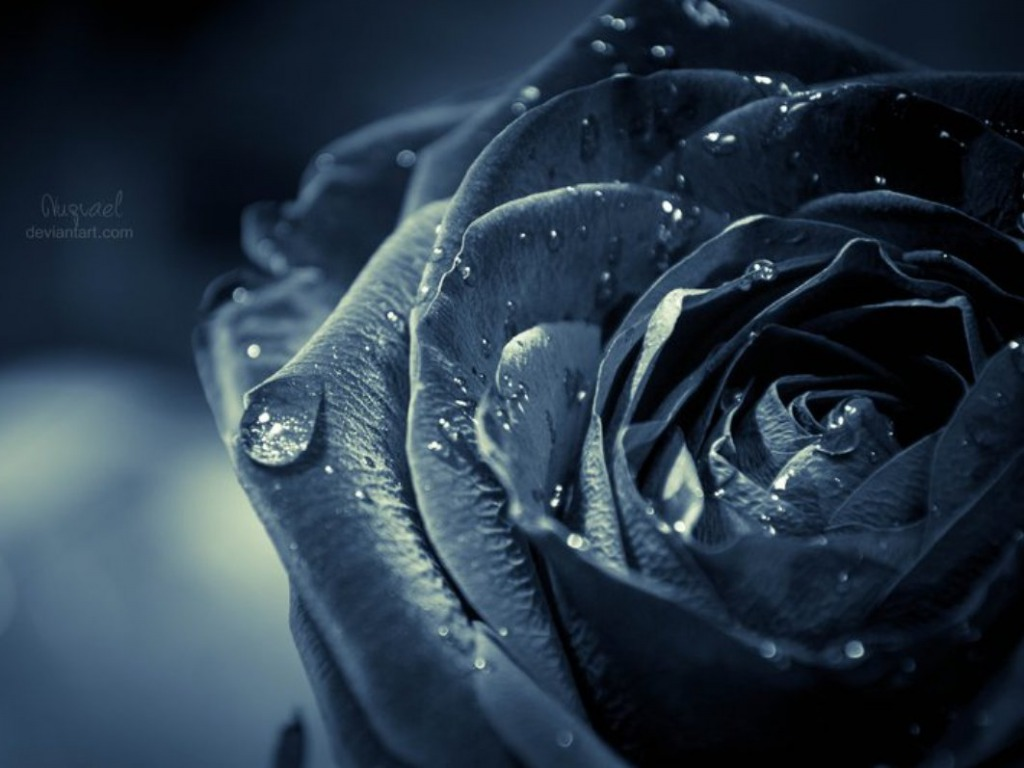 Free Download Black Rose Wallpapers Hd Pictures One Hd