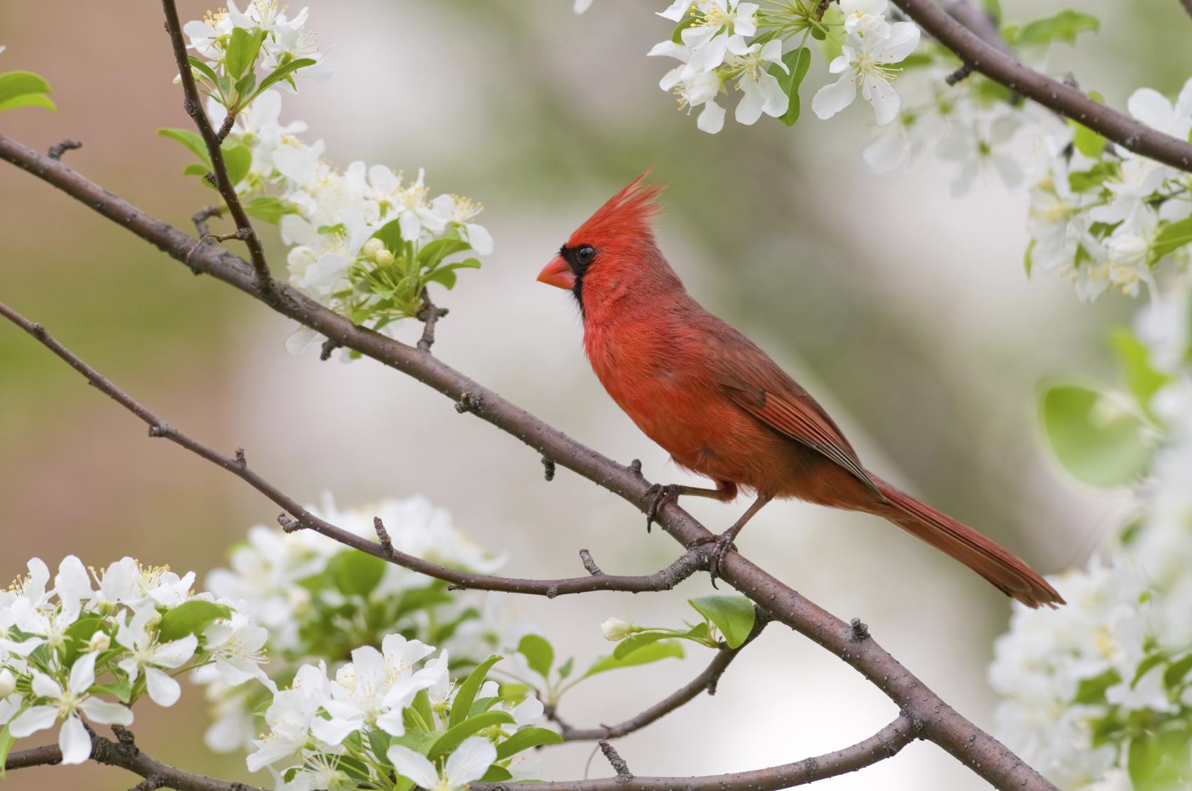42 cardinal bird desktop wallpaper on wallpapersafari - Winter cardinal wallpaper ...