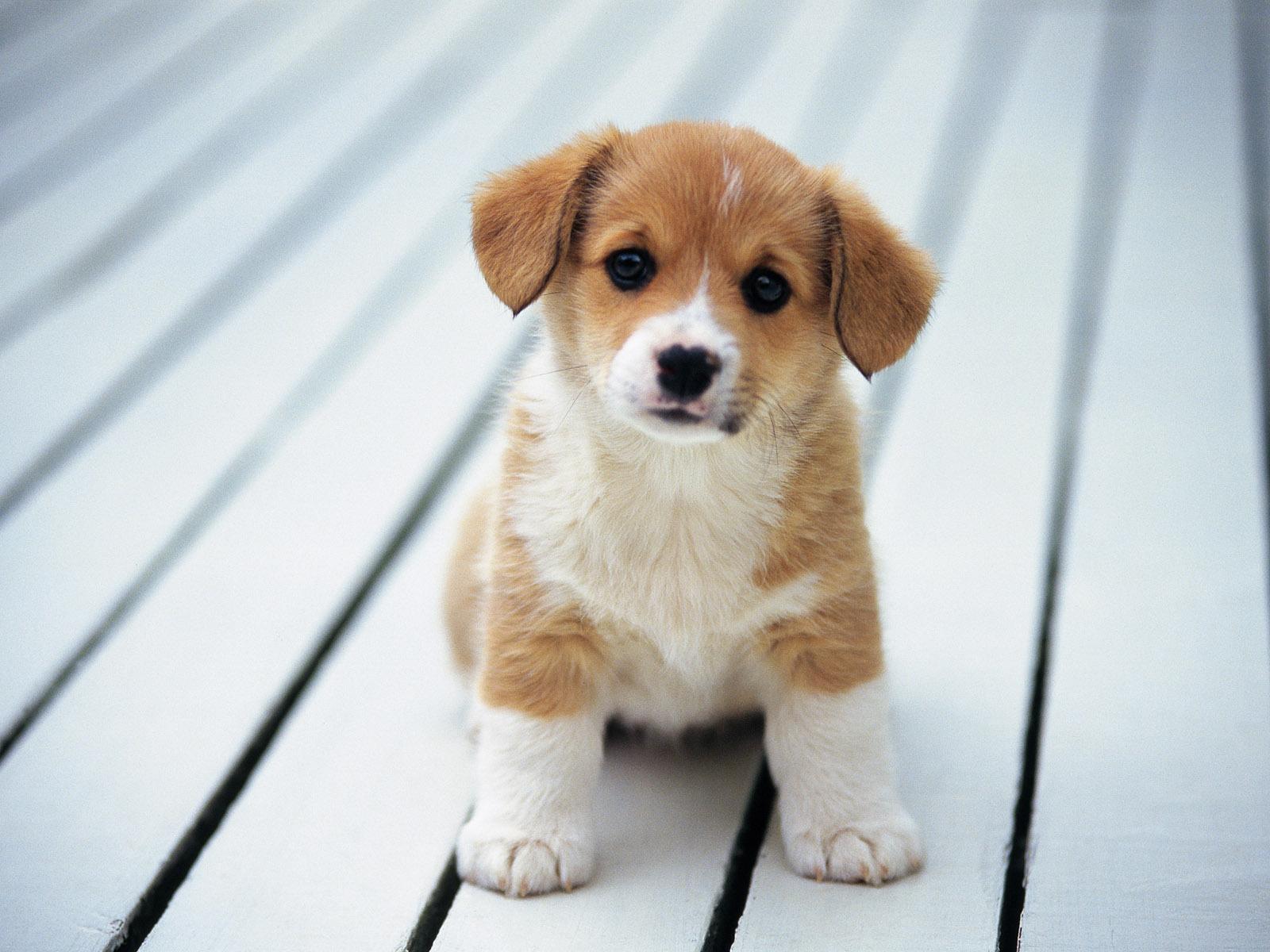 Cute Puppy Wallpapers wallpaper Cute Puppy Wallpapers hd wallpaper 1600x1200