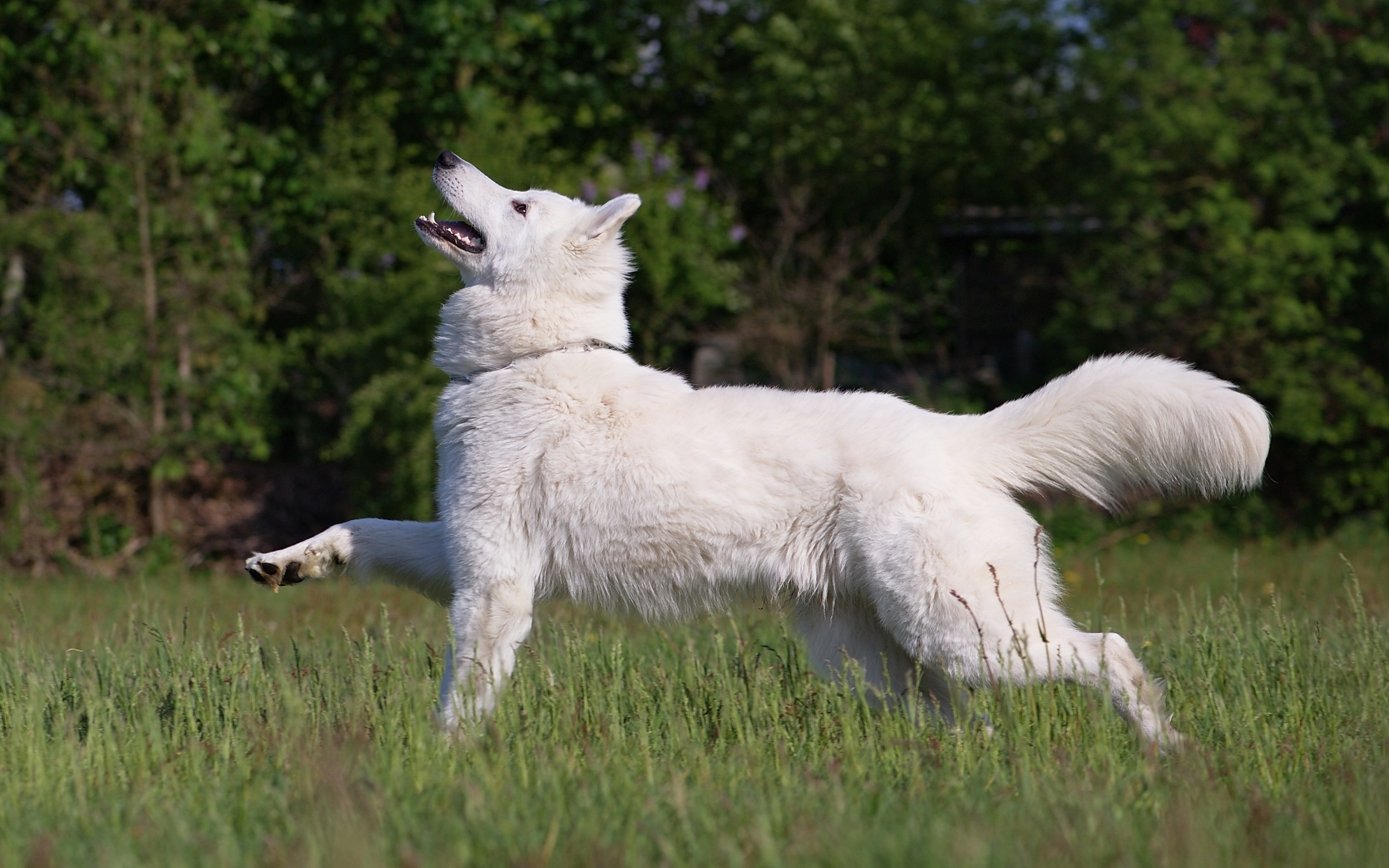40 Samoyed HD Wallpapers Background Images 2880x1800