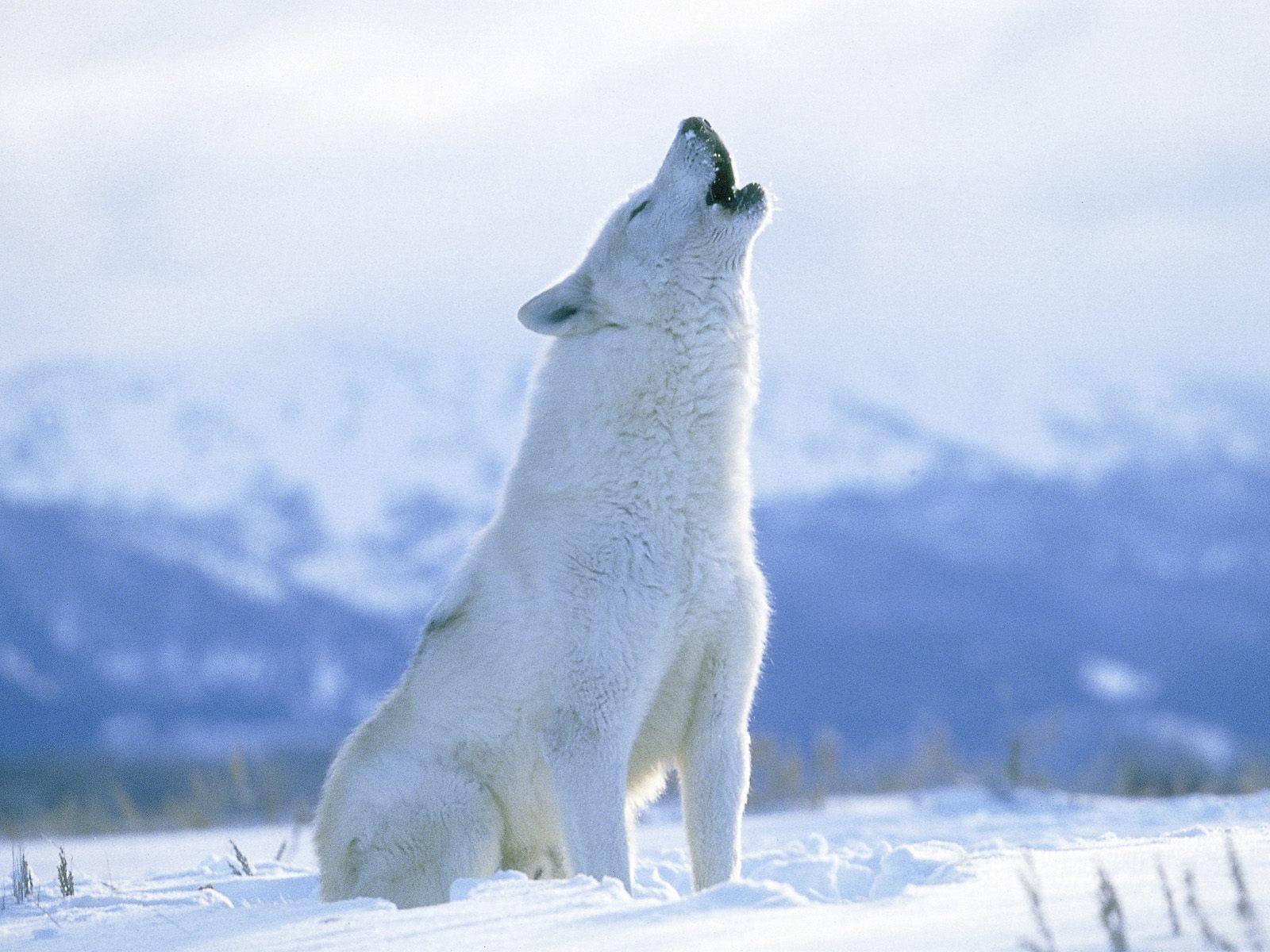 llatkert Howling Arctic Wolf Canada k p   Clip Art Library 1600x1200