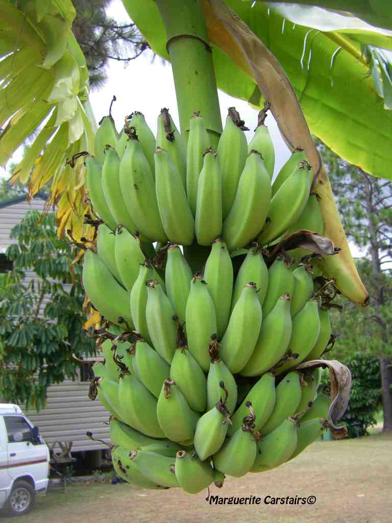 Bananas and the Banana Trees Every Picture Tells a Tale 768x1024