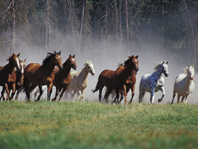 Horses running wallpapers Horses running stock photos 1440x1080