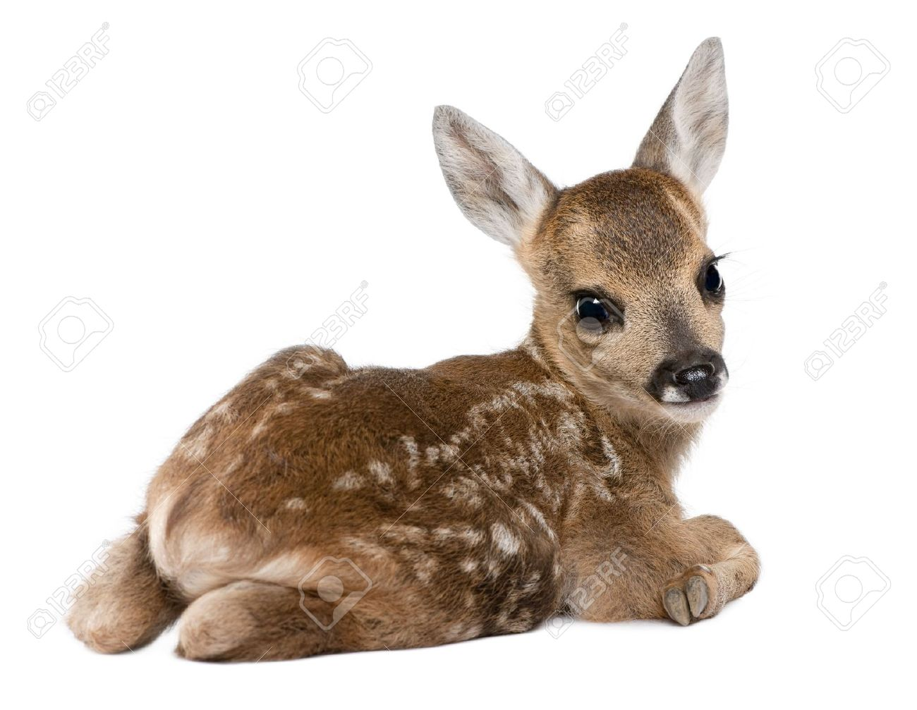 Roe Deer Fawn   Capreolus Capreolus 15 Days Old In Front Of 1300x1007
