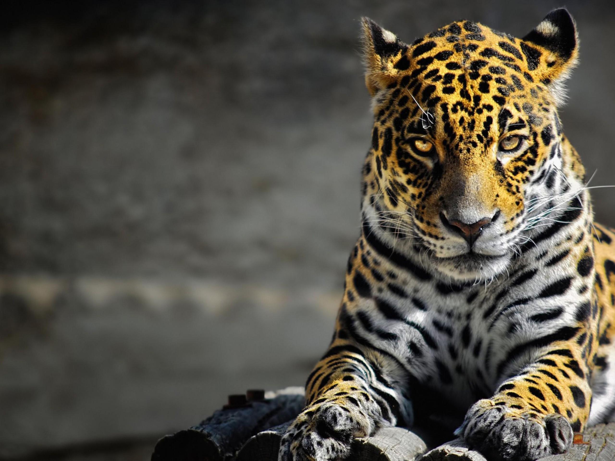 Black jaguar animal hd wallpapers