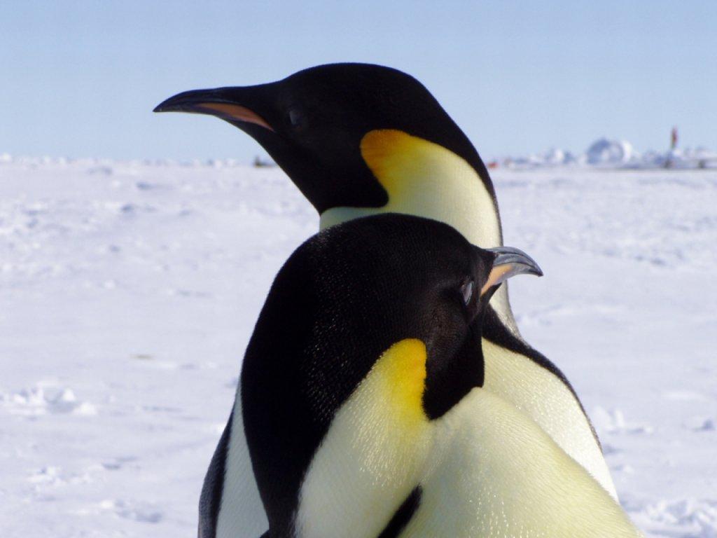 free penguin wallpaper screensavers wallpapersafari