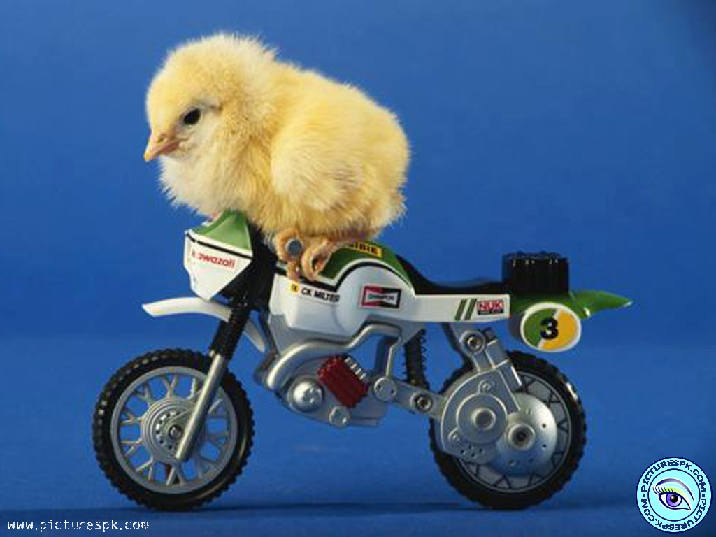 View Funny Chicken Picture Wallpaper in 1024x768 Resolution 1024x768
