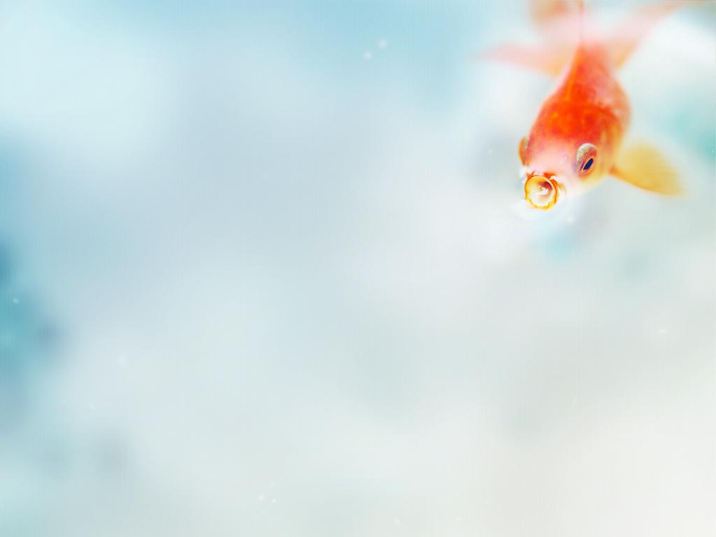goldfish wallpaper Animal desktop background Animal Wallpapers 1024x768