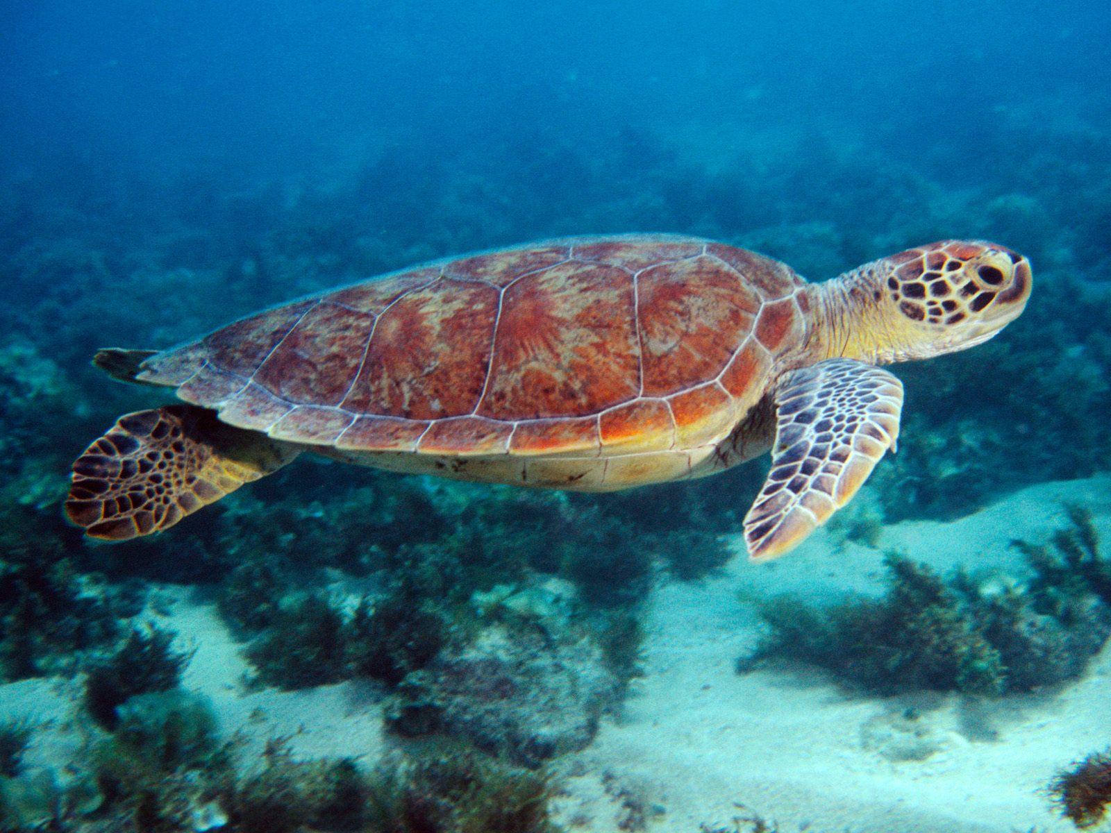 HQ Swimming Sea Turtle Wallpaper   HQ Wallpapers 1600x1200