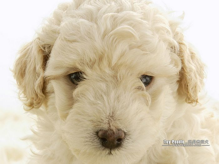 Lovable Toy Poodle Puppy Curly Coat Miniature Poodle Wallpaper 12 700x525