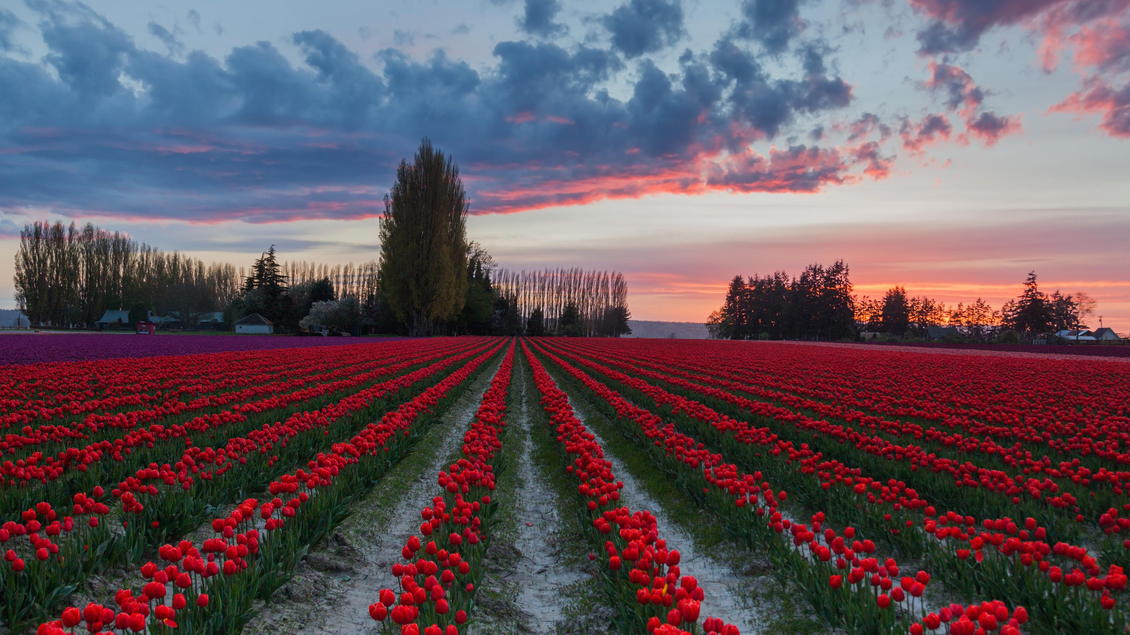 BOTPOST] Sunset in the Tulip Fields Skagit Valley WA [3840x2160 3840x2160