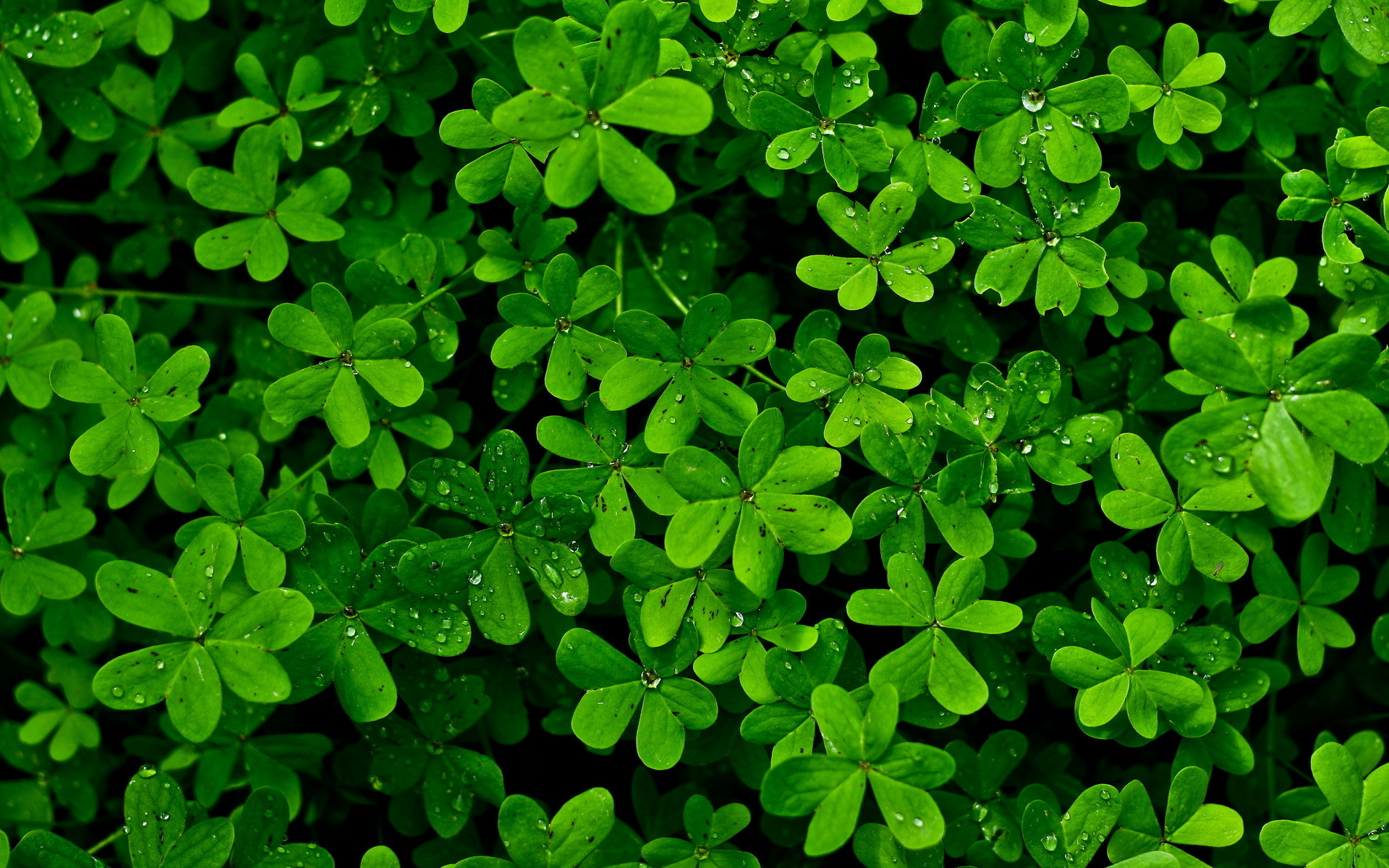 Clovers HD Wallpaper 1920x1080 Clovers HD Wallpaper 1920x1200 1920x1200