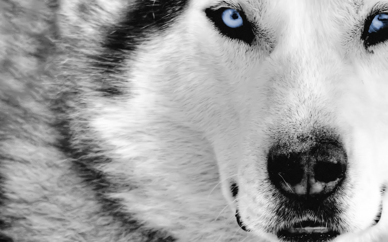 HD Grey Wolf Wallpapers Download Wallpapers in HD for your 1600x1000