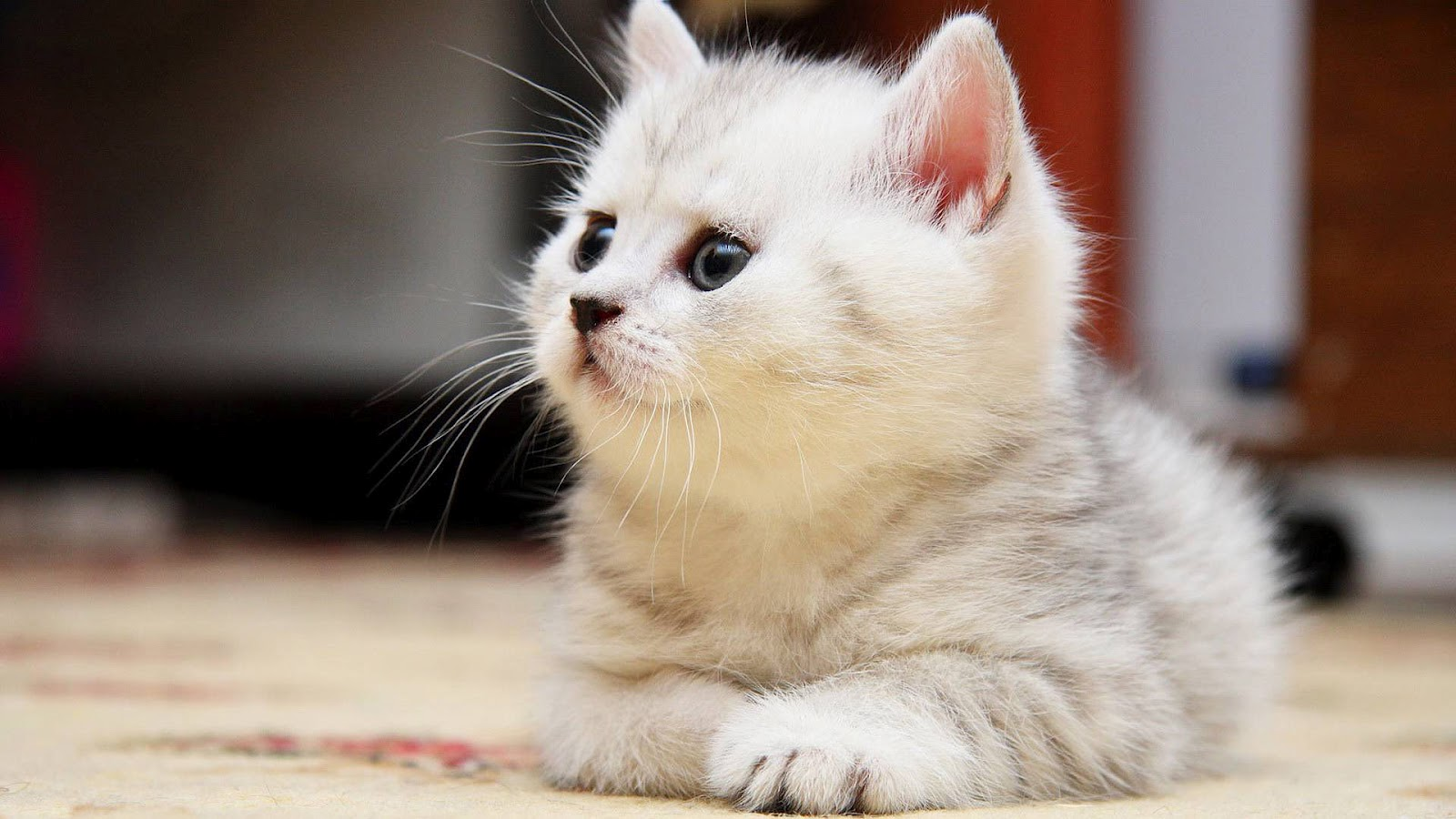 Free Download Resting White Cat Wallpaper Hd Animals Wallpapers 1600x900 For Your Desktop Mobile Tablet Explore 73 White Cat Wallpapers Cat Desktop Wallpaper Black And White Cat Wallpaper Kitten Desktop Wallpaper
