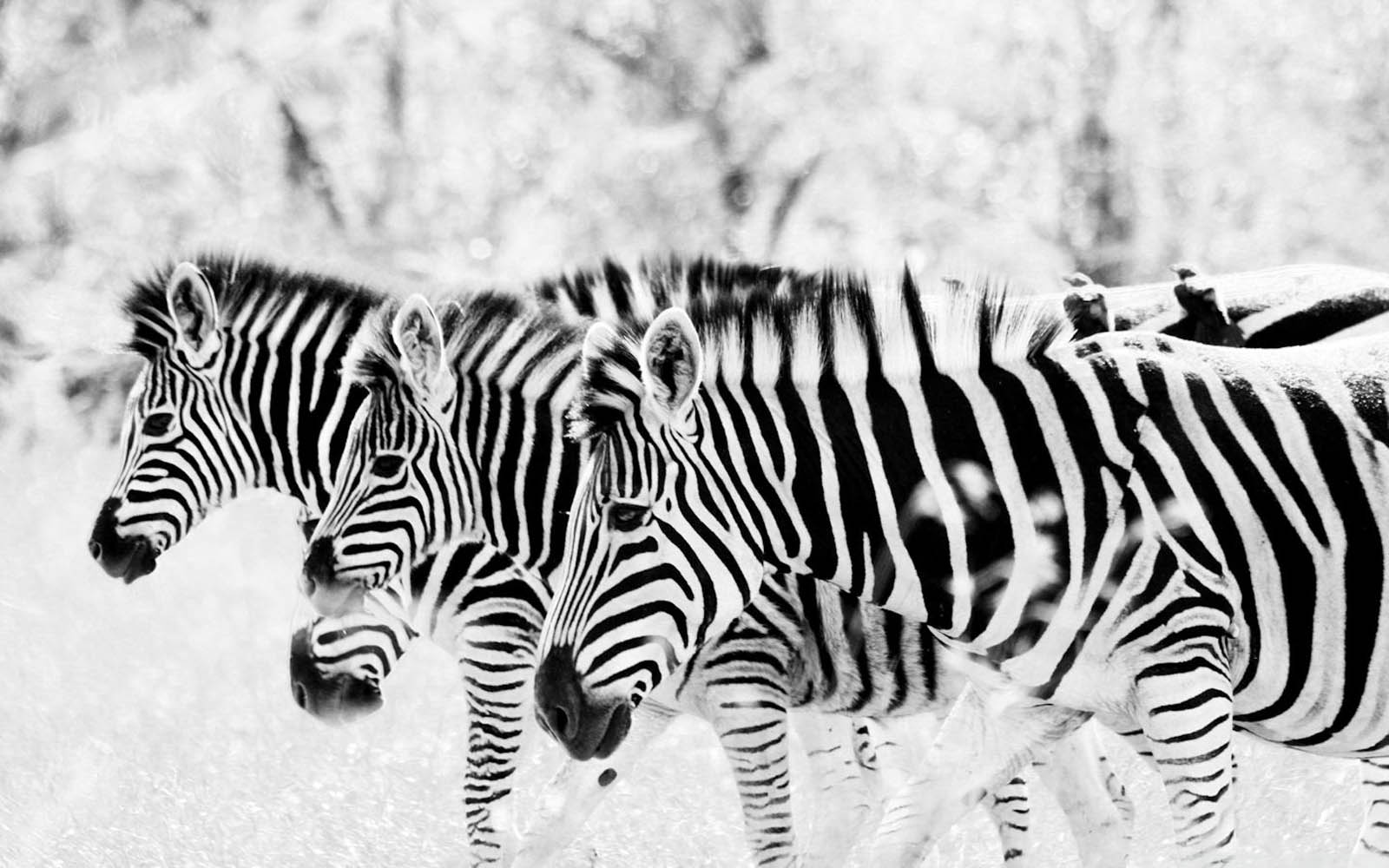 Zebra Wallpapers HD images Live HD Wallpaper HQ Pictures Images 1600x1000