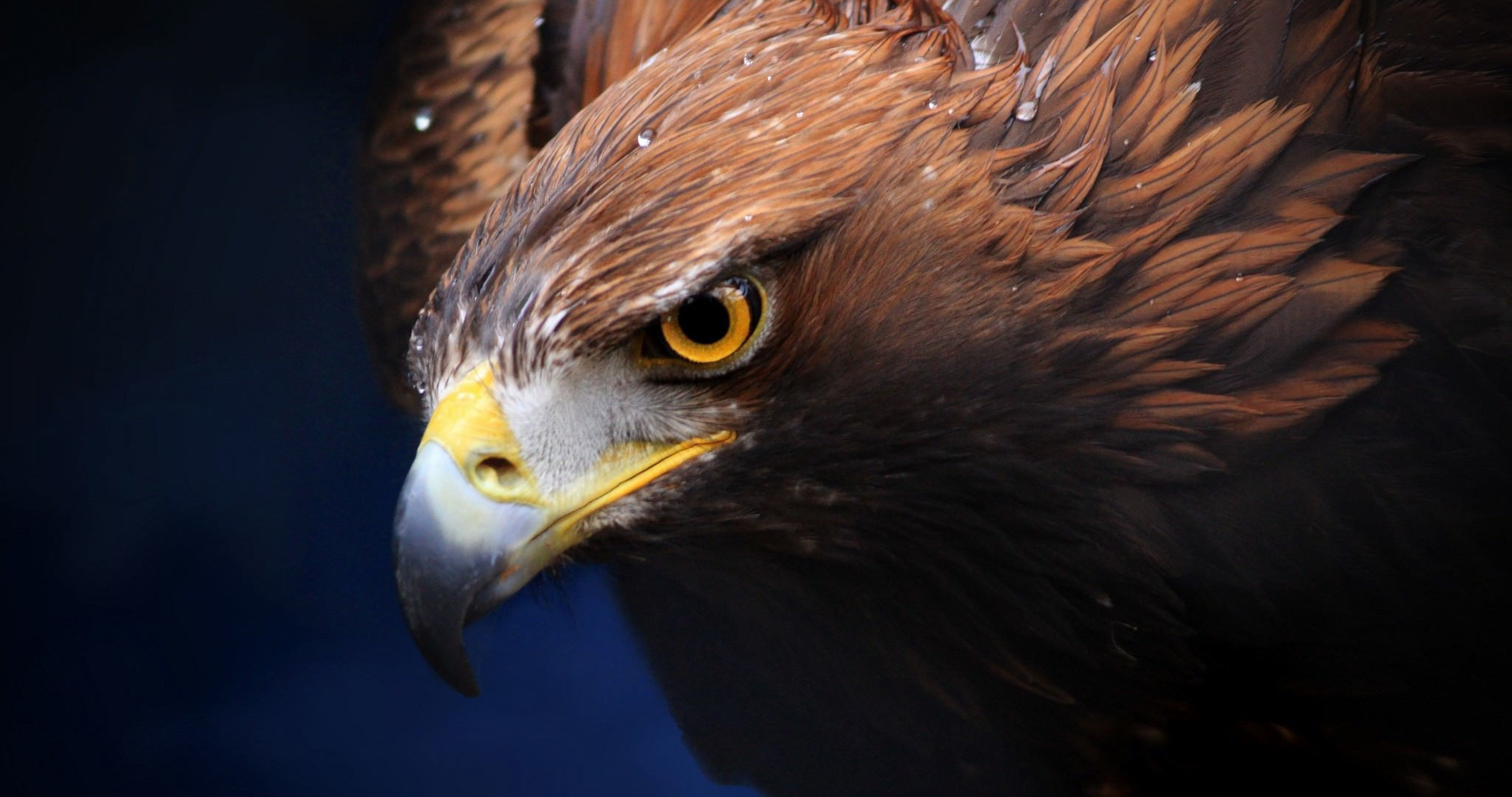 golden eagle 4k ultra hd wallpaper ololoshenka Eagle pictures 4096x2160
