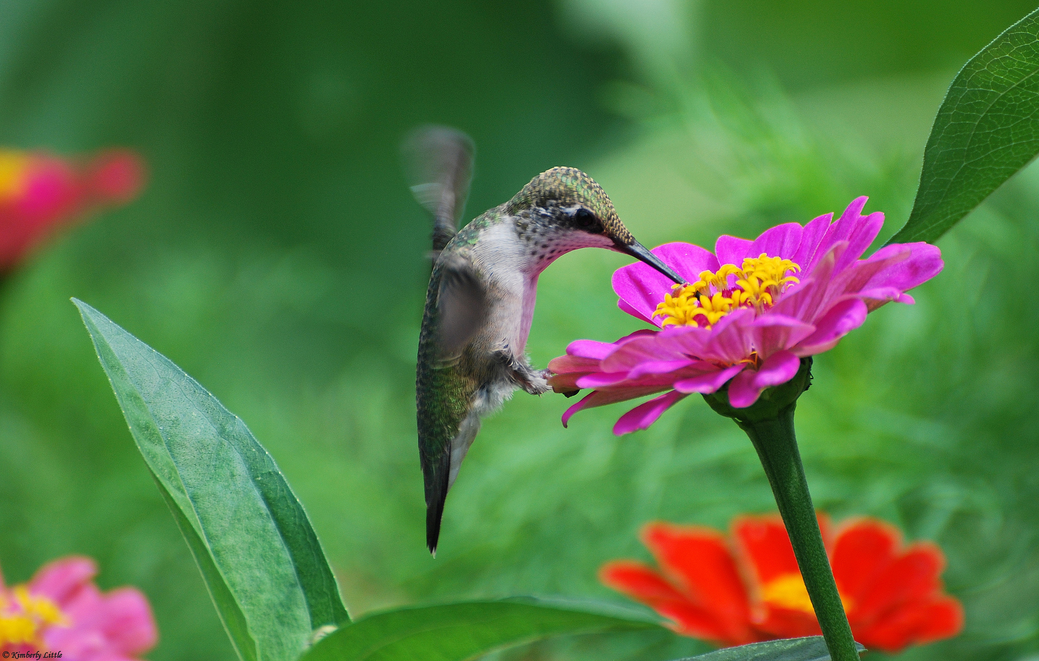 Flowers birds hummingbirds tsiniya pink wallpaper 2048x1304 169566 2048x1304