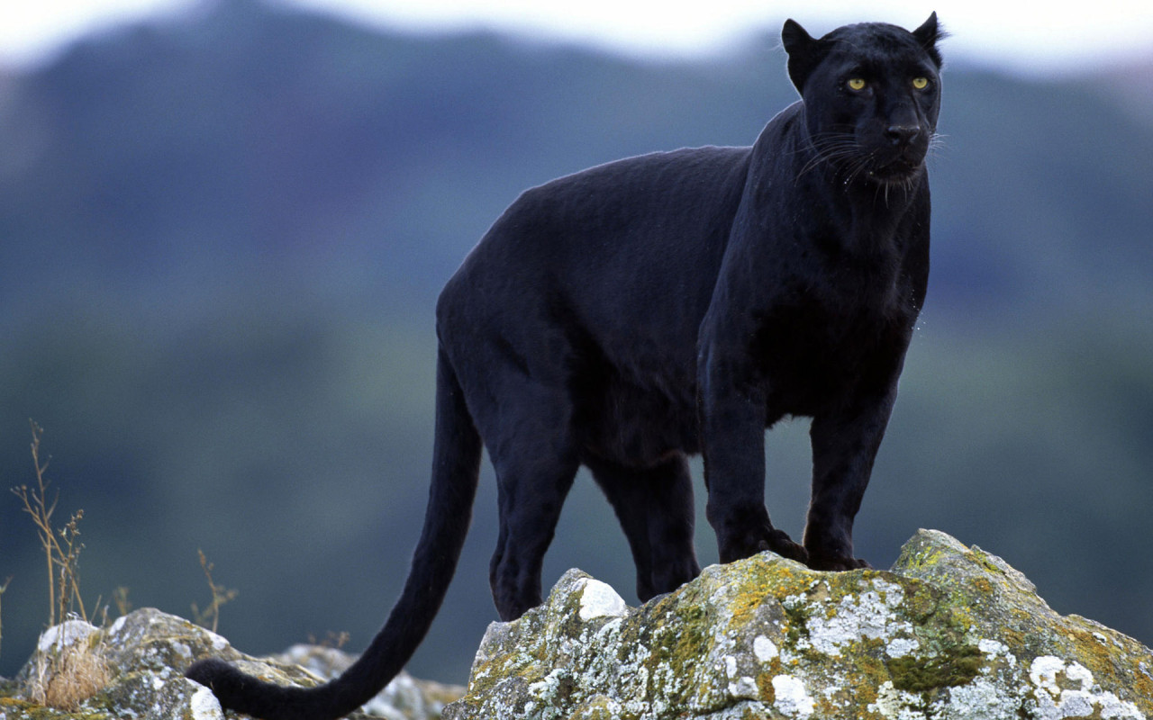 Animals Black Panther Background Wallpaper 1280x800