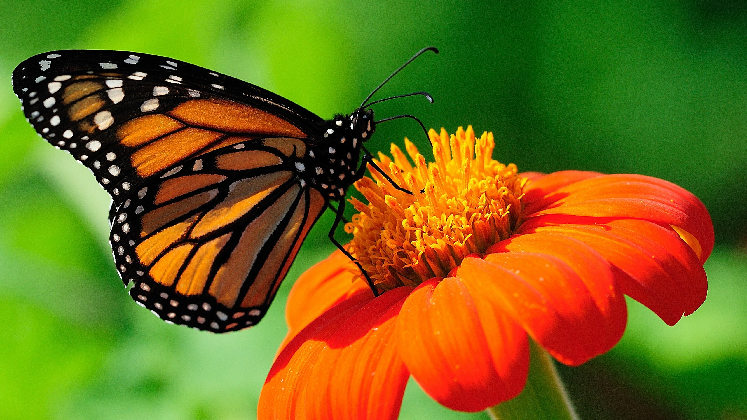 Monarch Butterfly Wallpaper For Dekstop Backgr 37837 Full HD Wallpaper 2560x1440