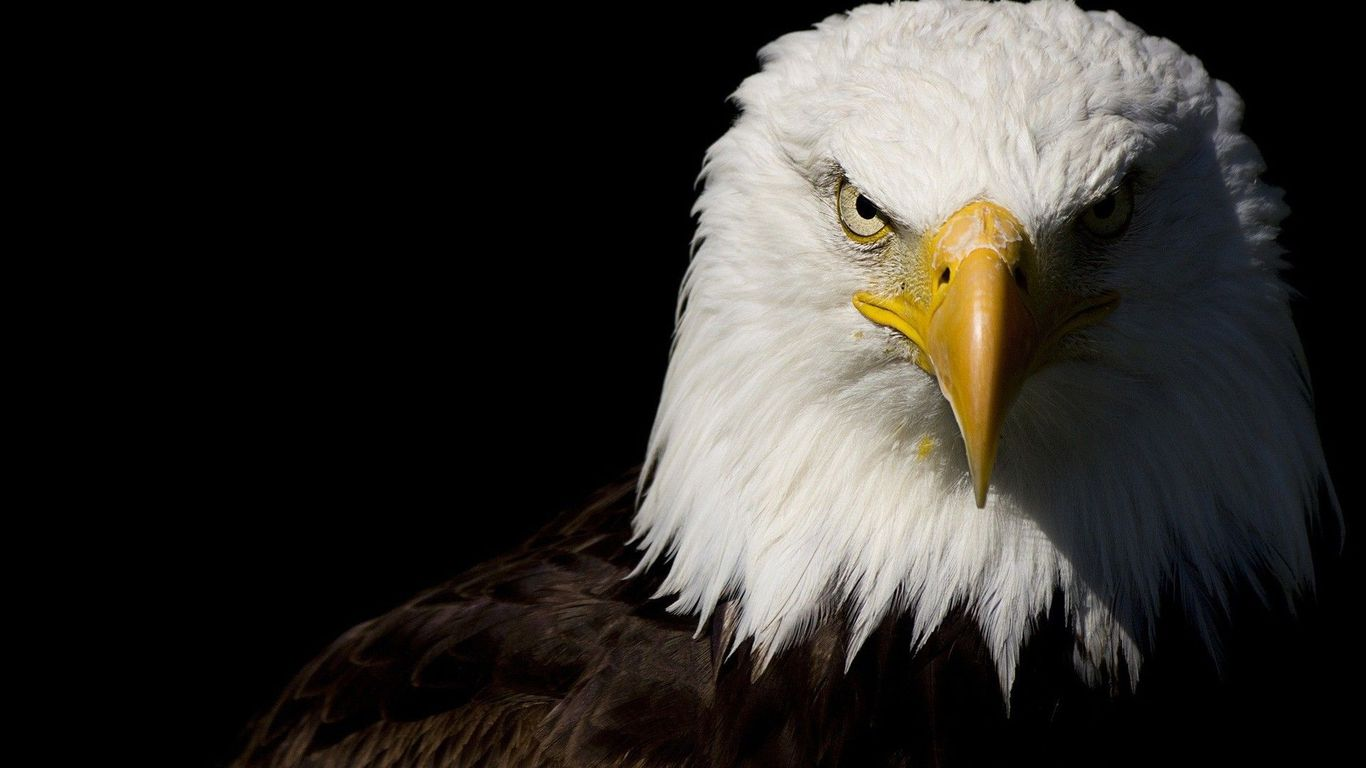 Free Download Bald Eagle Wallpaper 34584 1366x768 For Your