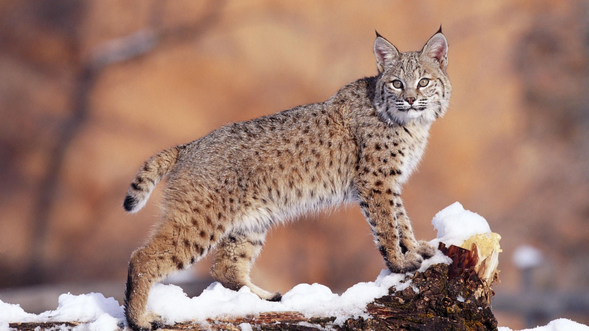 Wild Cat Wallpapers - WallpaperSafari