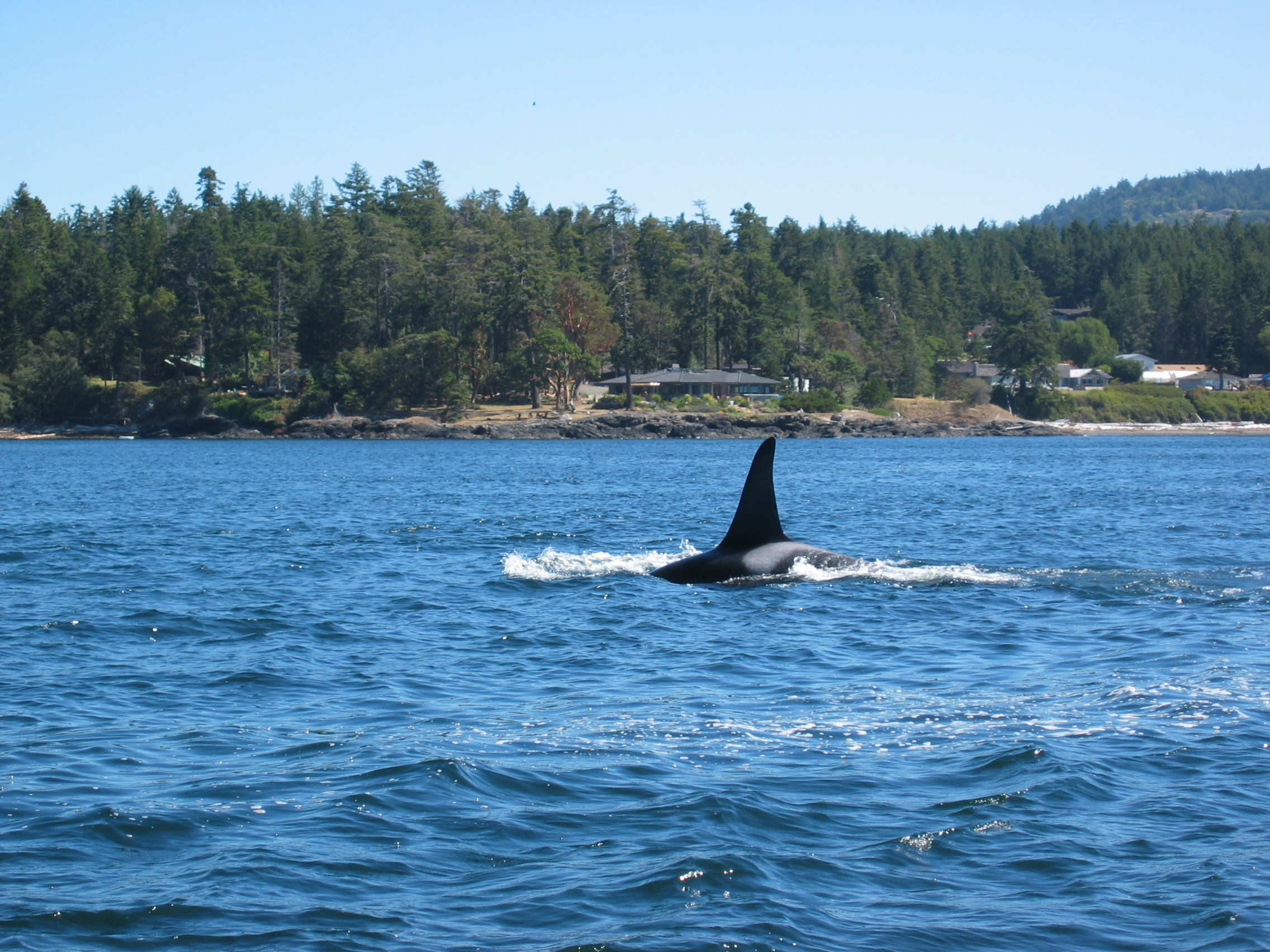 Killer Whale near Victoria BC Wallpapers Desktop Background Full 2272x1704
