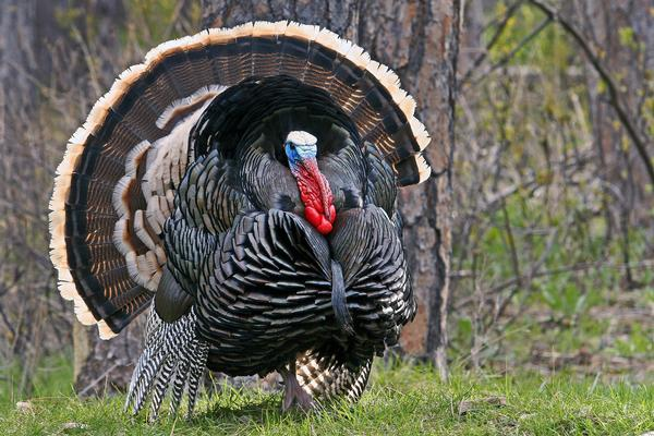 out quite as soon Provided by National Wild Turkey Federation 600x400