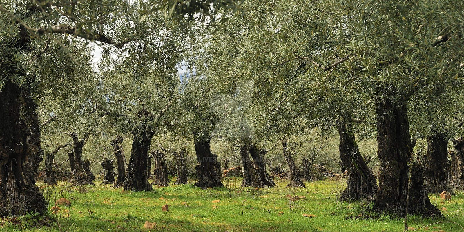 Olive Tree Orchard by EveLivesey 1600x803