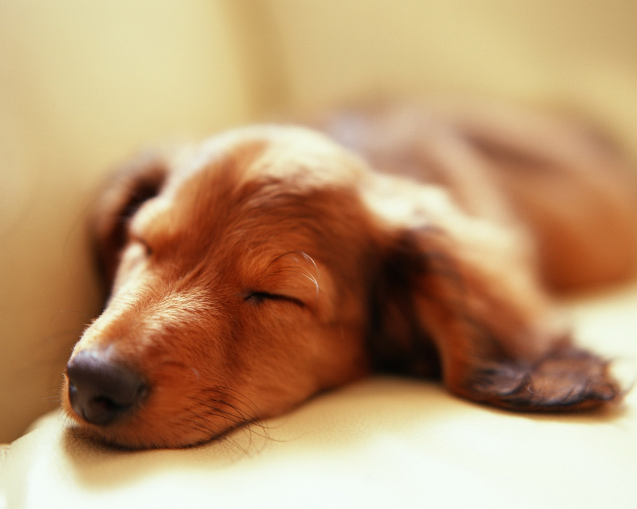 1280x1024 Sleeping dog desktop PC and Mac wallpaper 1280x1024