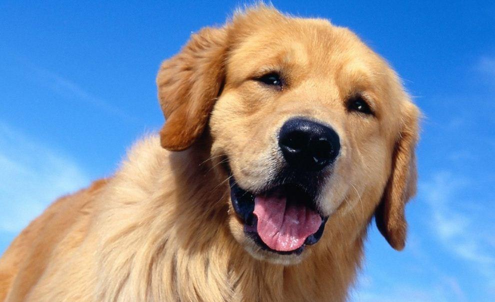 download Beautiful Dogs Wallpaper HD Wallpapers Pretty 990x605