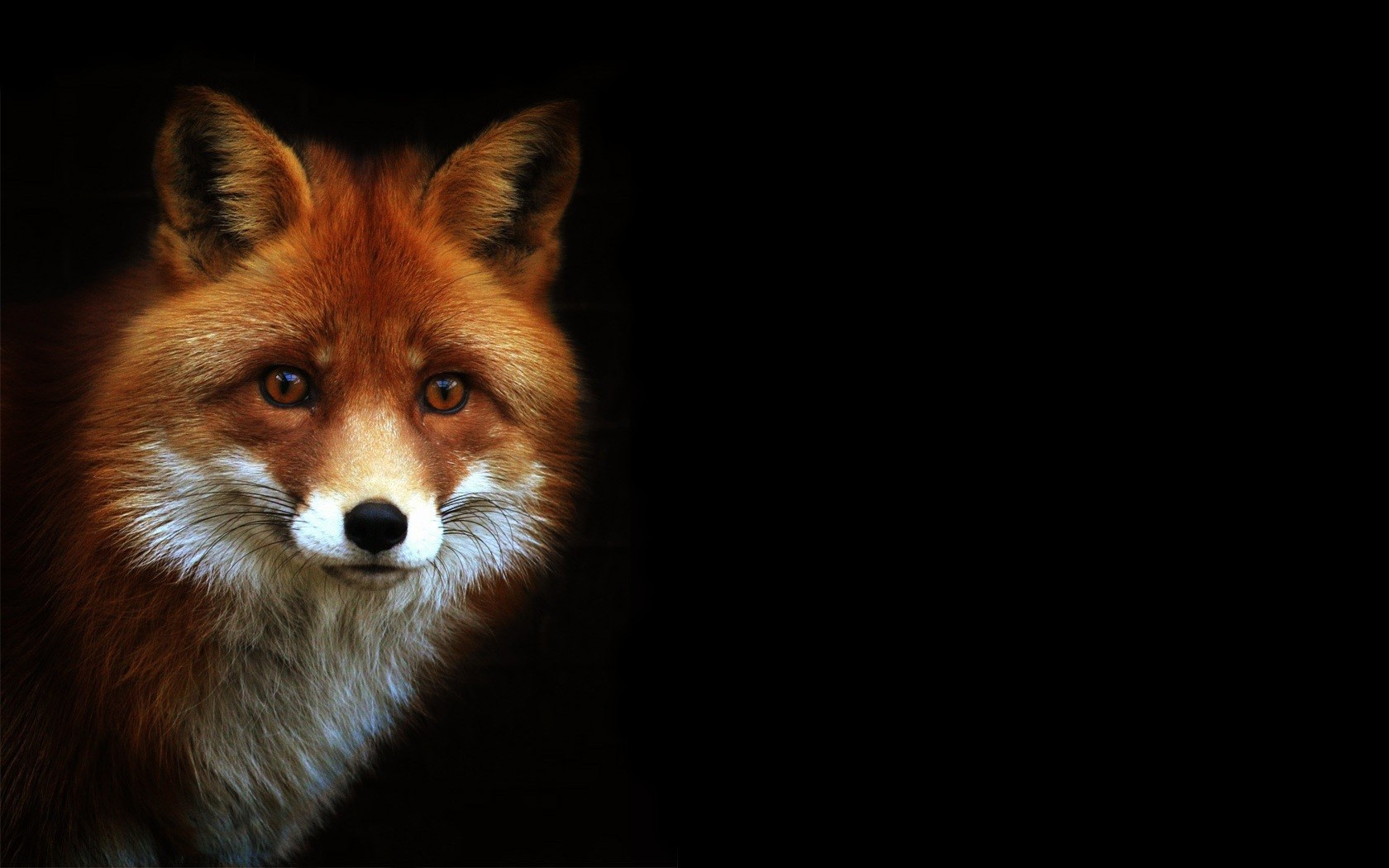 Red Fox on a black background wallpapers and images   wallpapers 1680x1050