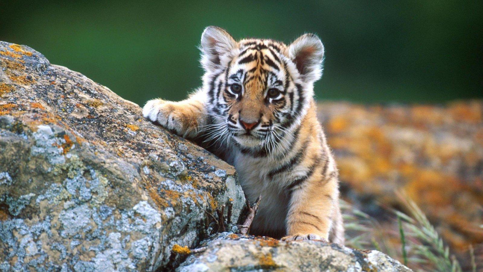 Free Download Hdej Desktop Wallpapers Tiger Baby Dieren