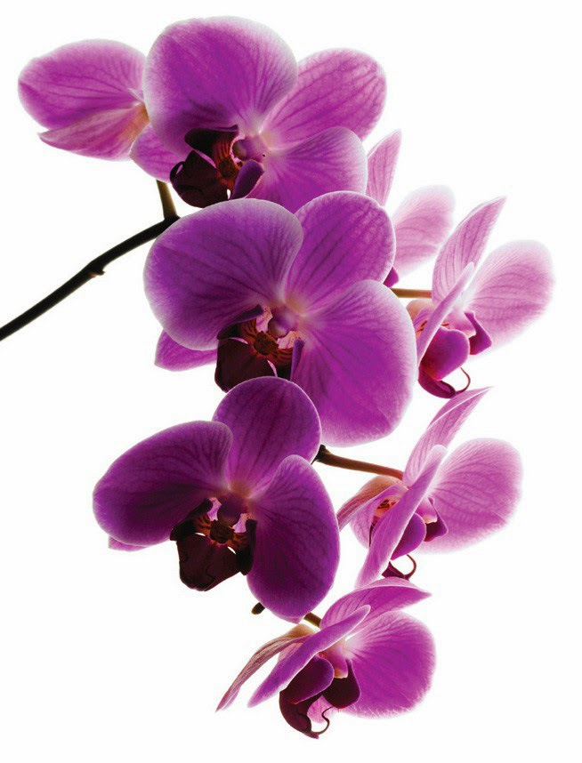 Purple Orchid Flower Wallpaper   beautiful desktop wallpapers 2014 654x858
