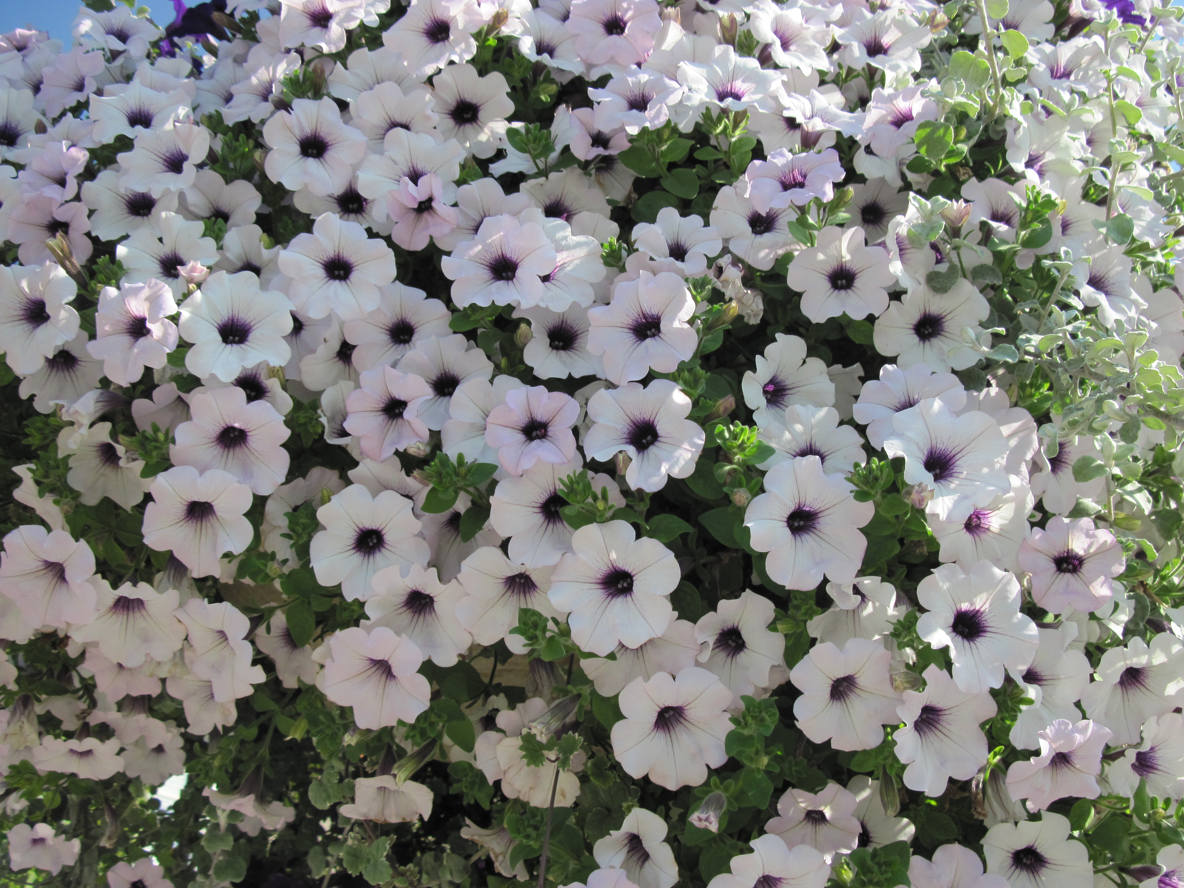 white petunias in BC   Canada wallpaper   ForWallpapercom 4000x3000