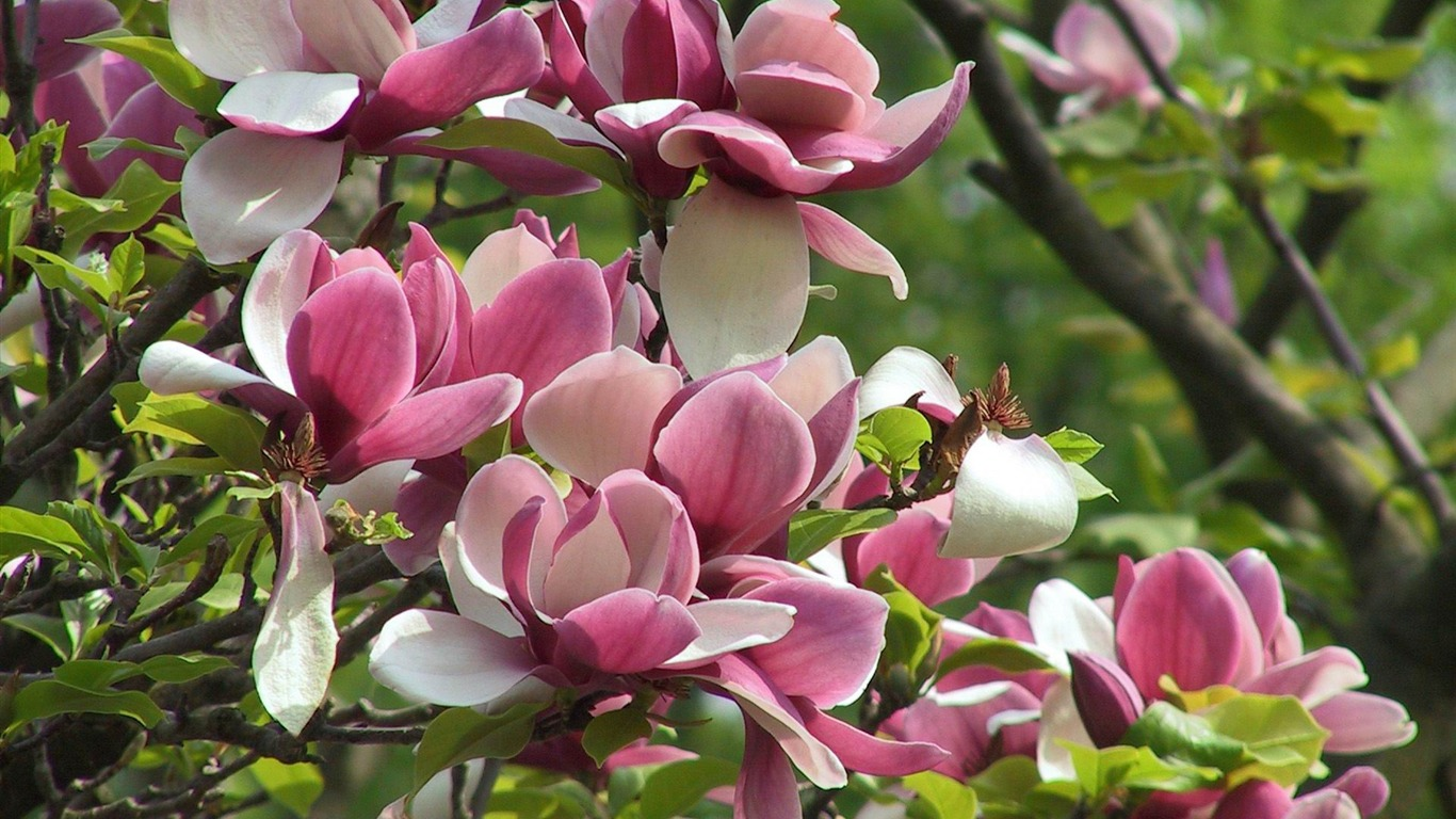 23 Spring Flower Wallpapers 1366x768