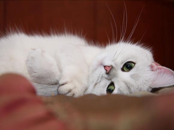 foto kucing lucu keren terbaru tiduran 580x435