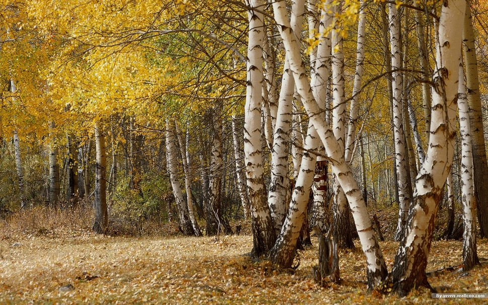 Birch Trees Forest wallpaper   ForWallpapercom 969x606