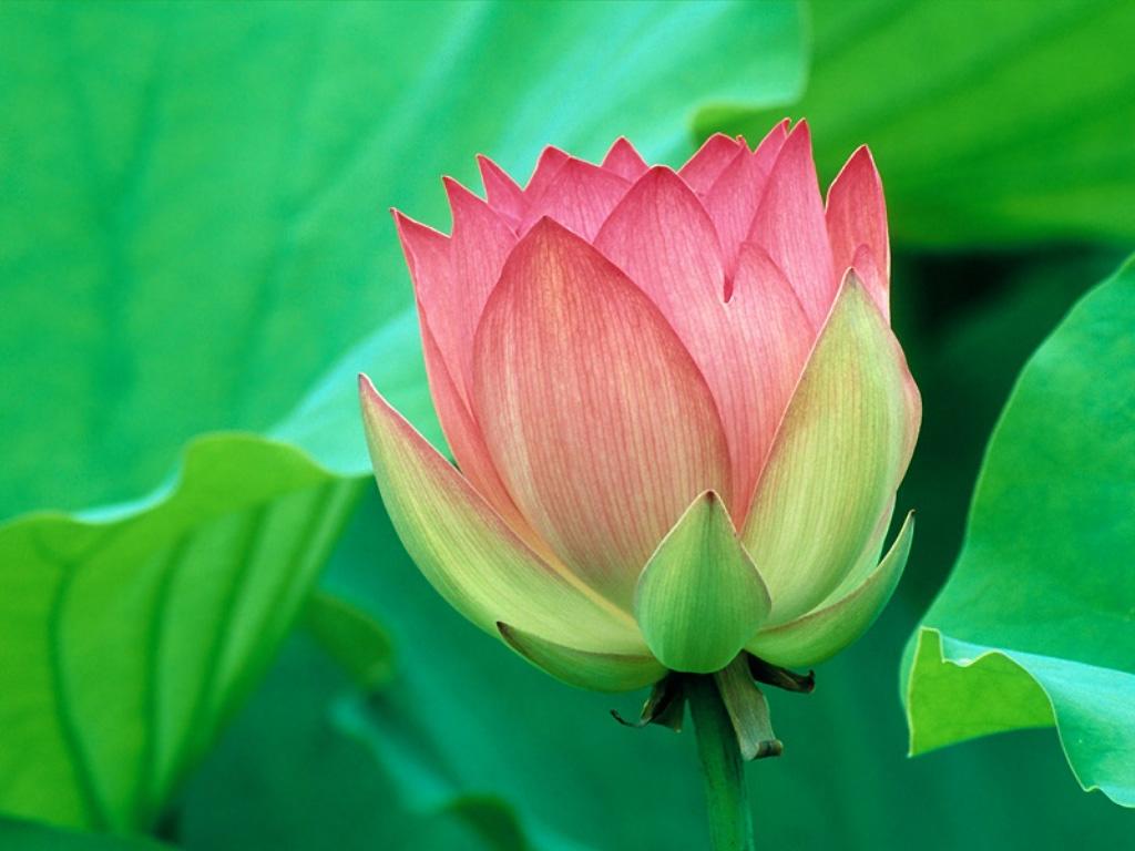 Beautiful Flowers Wallpapers   Latest News 1024x768