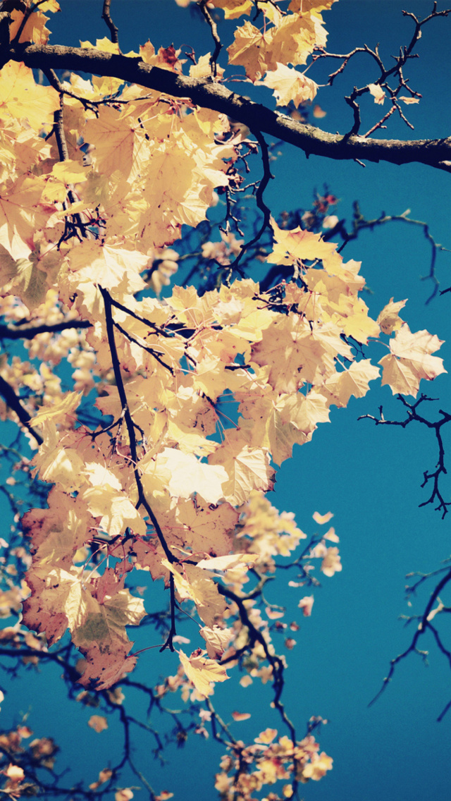 autumn leaves iphone wallpaper tags autumn branches golden leaves sky 640x1136