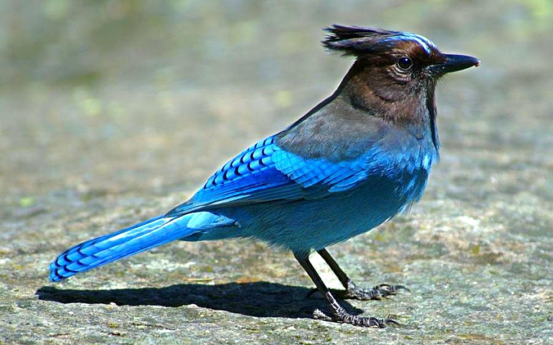 of Bluebird Rock Wallpaper Bird Wallpapers And Pictures For Desktop 1440x900