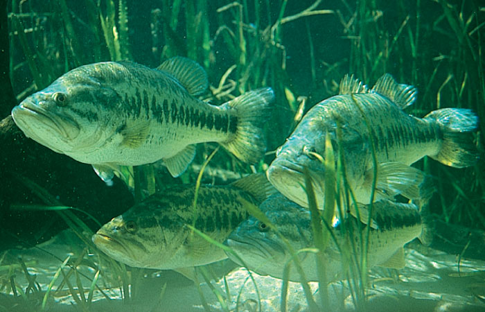 largemouth bass jumping wallpaper 700x450