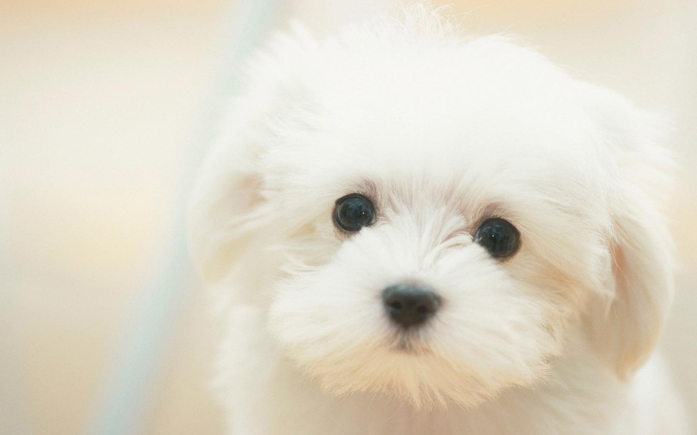 Cute White Puppies Dogs HD Wallpaper 478 Wallpaper High Resolution 1440x900