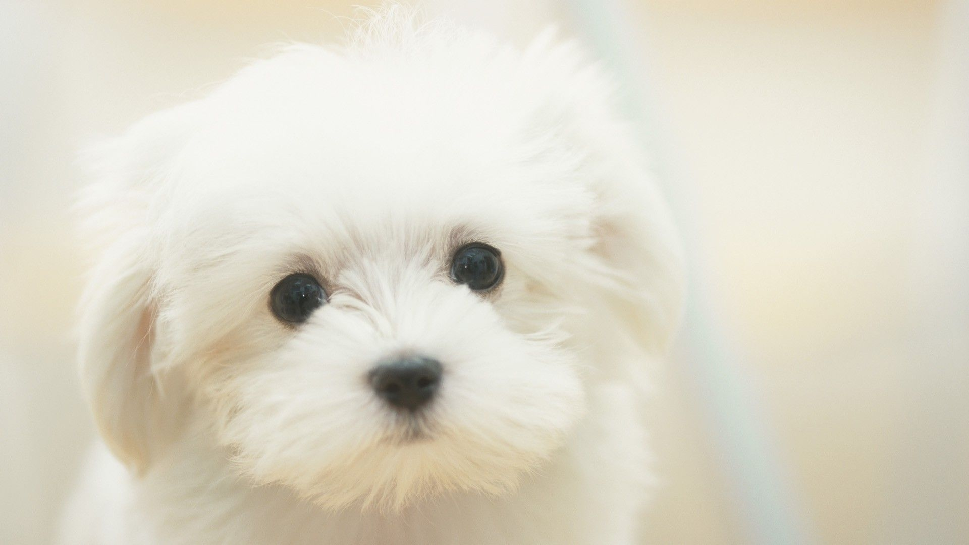 white cute puppy doge   Doge Wallpaper 1920x1080 59511 1920x1080