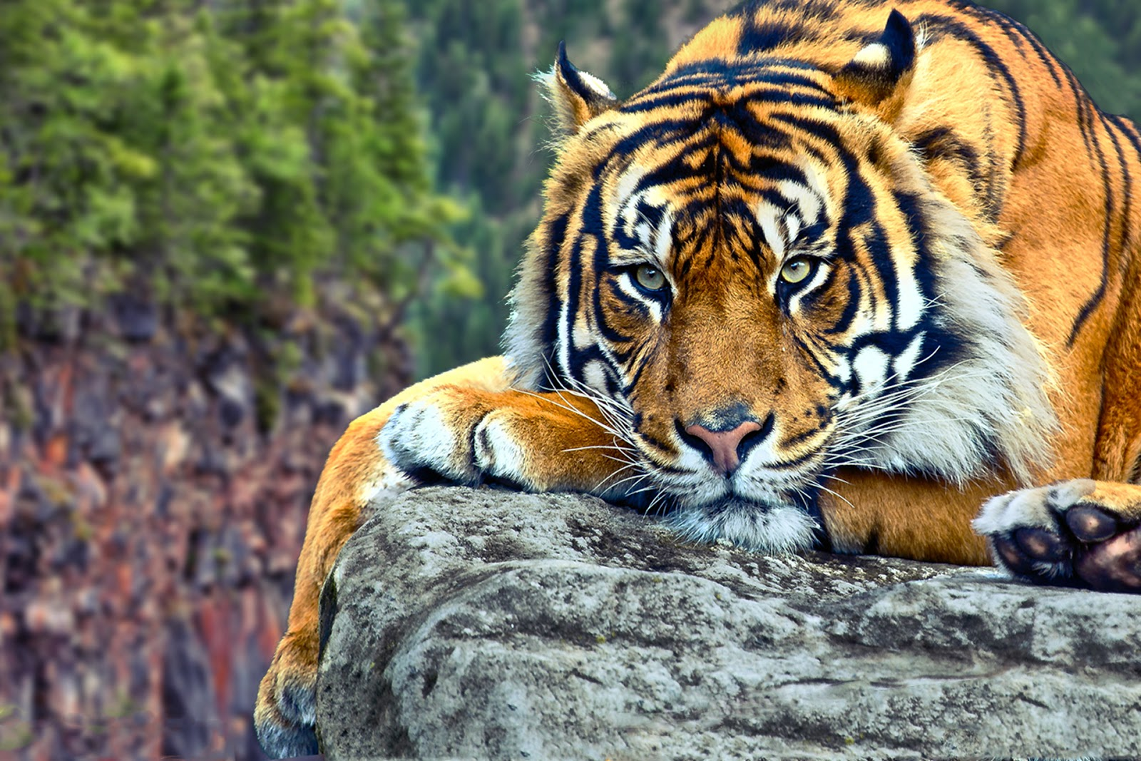 Best 32 Tiger Backgrounds for Computer on HipWallpaper Awesome 1600x1067
