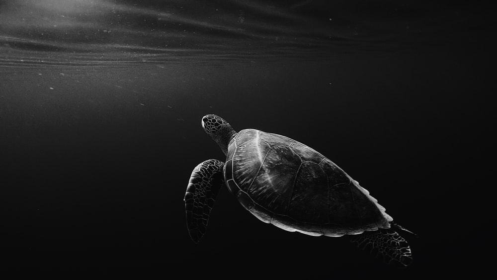 Monochrome lone turtle in sea HD photo by Anna Wangler 1000x563