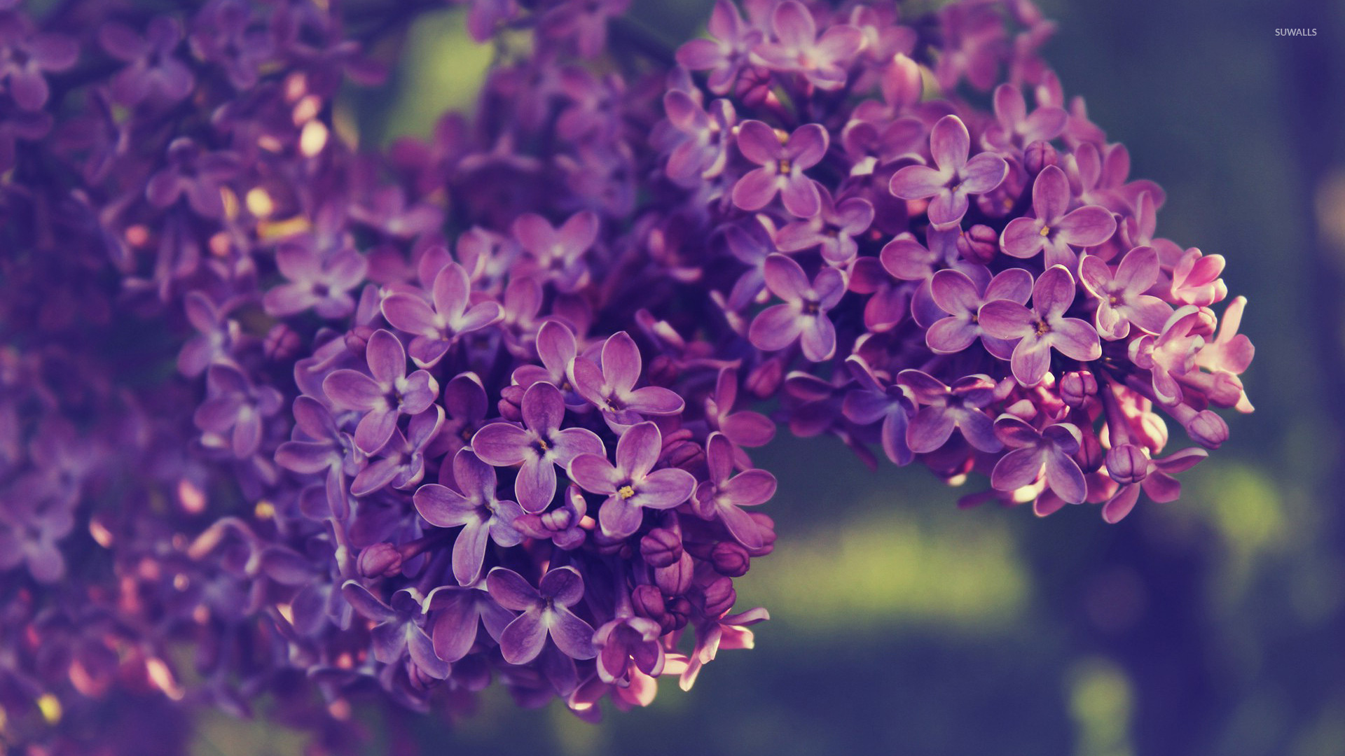 Lilac Background Wallpaper - WallpaperSafari